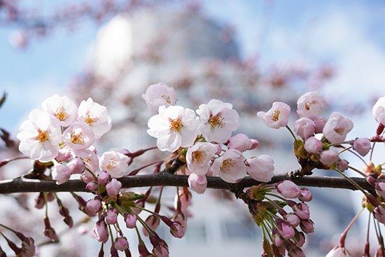 キャンパスの桜が咲き始めました(2021)